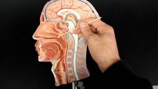 RESPIRATORY SYSTEM ANATOMY: Air flow from the nose to laynx 1/2 head model