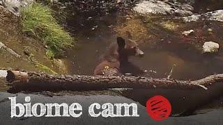 Black Bear Camera Trap Footage   Biome Cam
