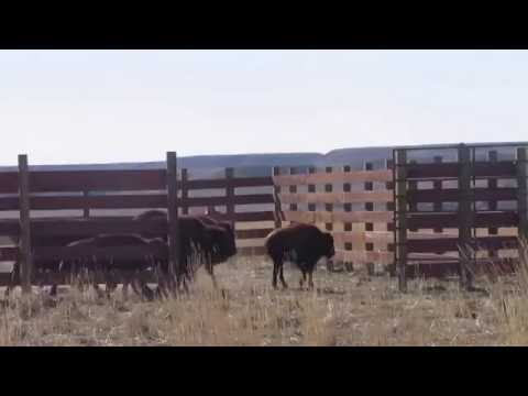 Eastern Shoshone Buffalo Release Nov 3 2016