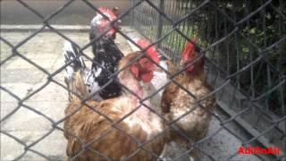 Wiejska łysa kura - mocno wyskubana.