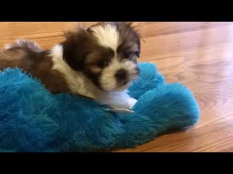 Shih Tzu - 8 weeks old puppy - Potty Training