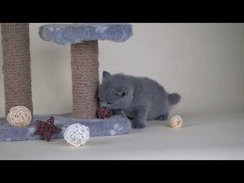 British kitty Milady is 5 weeks