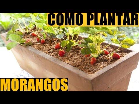 Como plantar morangos como plantar morangos em vasos Como cultivar peces en casa