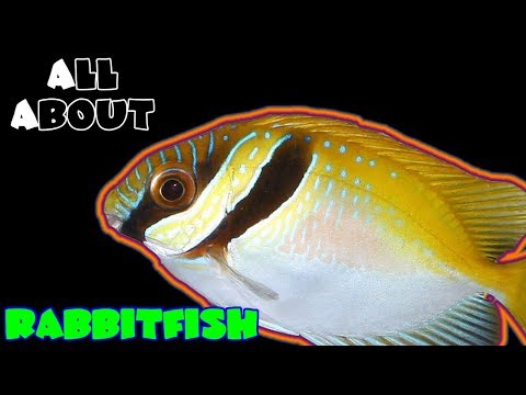 All About The Two Barred Rabbitfish