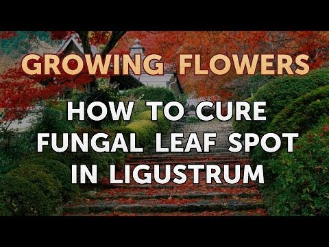 How To Cure Fungal Leaf Spot In Ligustrum