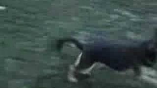 Ollie German Shepherd Dog Play Training Barking