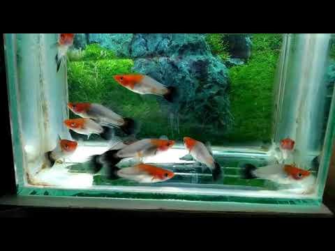 Platy Fish || Kohaku Wagtail ||Xiphophorus Maculatus||  Indonesia ||