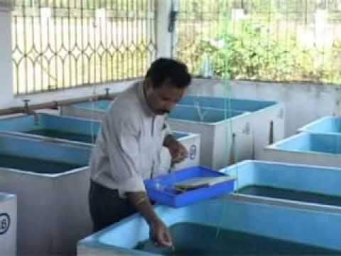 Ornamental Fish Breeding Culture Youtube