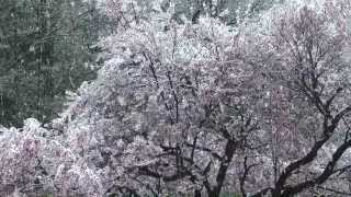 桜に降る雪2013.4.21 ♪ When the snow is on the   roses