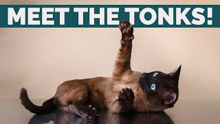 Tonkinese Cats 101: Personality, History, Behavior And Health