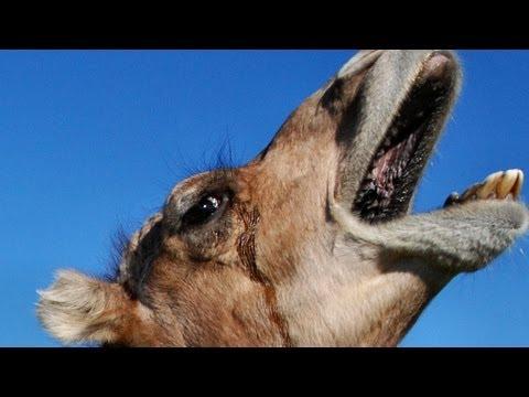 The Amazing Dromedary Camel