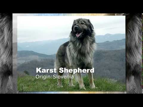 Karst Shepherd Dog Breed
