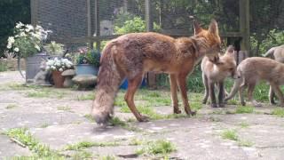 Fox Cub Nursery Love