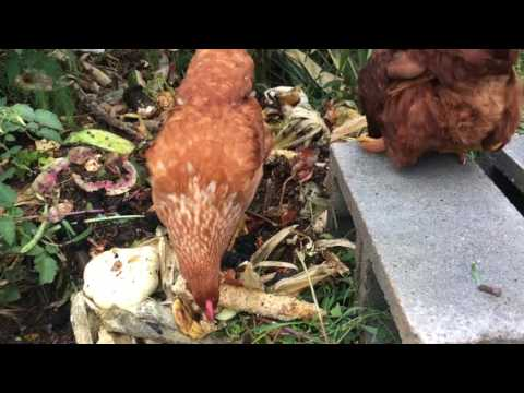 Feeding backyard Chickens Cheep (Low Cost Chicken Feed Systems)