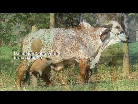 LOTE 122 – GILSON FIV CABO VERDE – JCVL 3666
