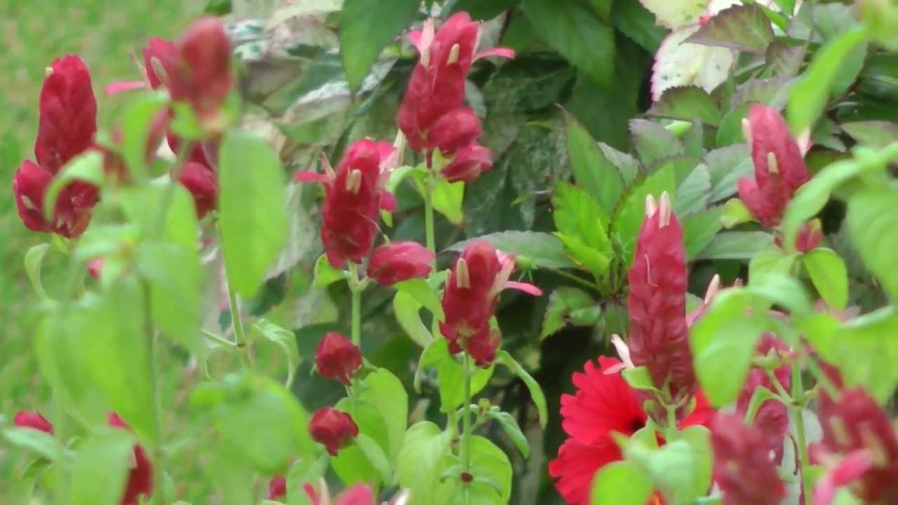 Red Shrimp Plant Attracting Hummingbirds San Benito Texas