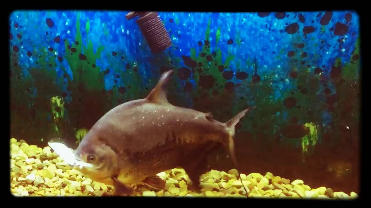 pacu fish attack another fish at big 400 liter water home aquarium youtube. Black Bedroom Furniture Sets. Home Design Ideas