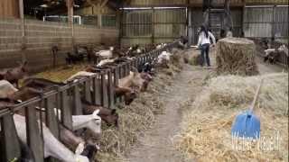 Distribution de foin et de compléments aux chèvres dans un élevage caprin