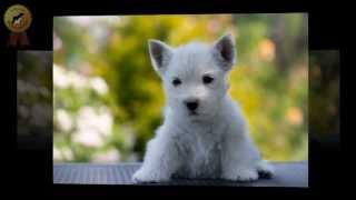 "питомник ""Мечта Натали"" - собаки пород Вест Хайленд Уайт Терьер и Ризеншнауцер"
