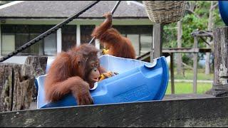 Orangutan Playtime at BOS Nyaru Menteng