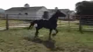 IVANHOE Friesian Stallion at Flying W Farms Ohio