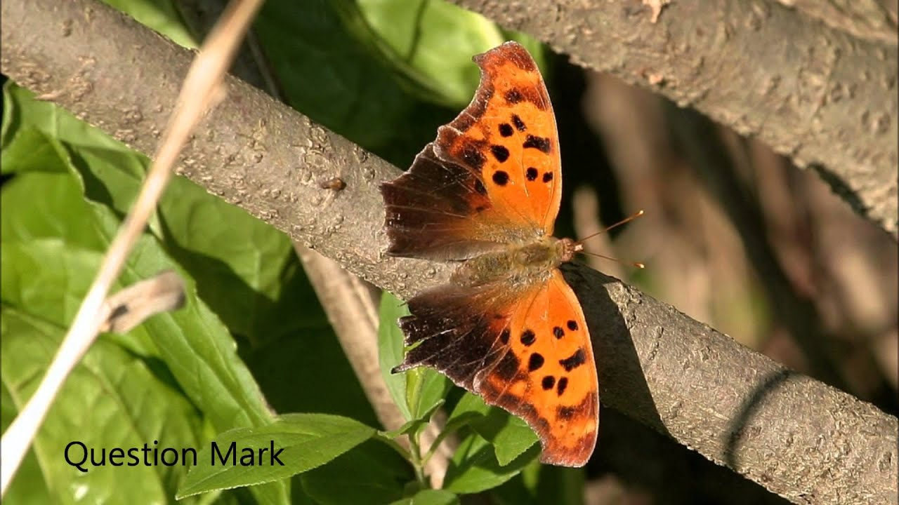 Butterflies of Wisconsin - YouTube