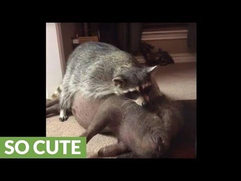 Raccoon sprawls out on top of piggy best friend