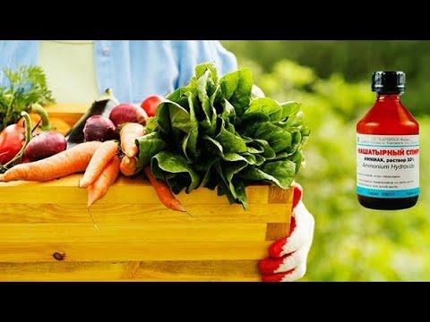 Нашатырный спирт для рассады томатов и перцев, удобрение, подкормка, опрыскивание, сохранение