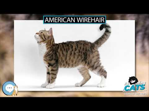 American Wirehair 🐱🦁🐯 EVERYTHING CATS 🐯🦁🐱