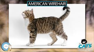 American Wirehair  EVERYTHING CATS
