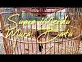 Suara Merdu Murai Batu  Mp3 - Mp4 Download