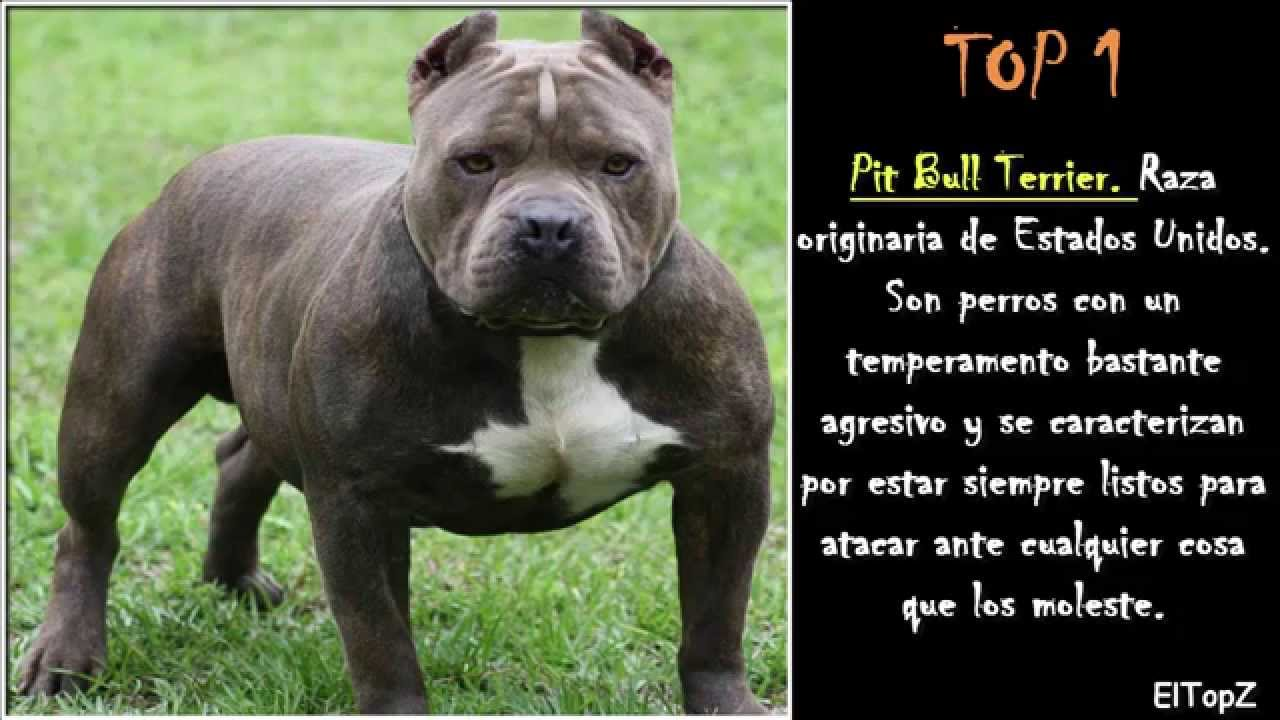 pitbulls are misunderstood thesis statement
