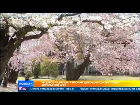 Розовое на белом: в Японии цветущую сакуру укрыл апрельский снег