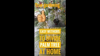 How to divided or repot areca palm tree in easy methods  or health tips of palm tree
