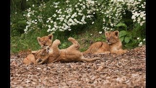 Lion Cub Cam | Live From Our Lion Enclosure