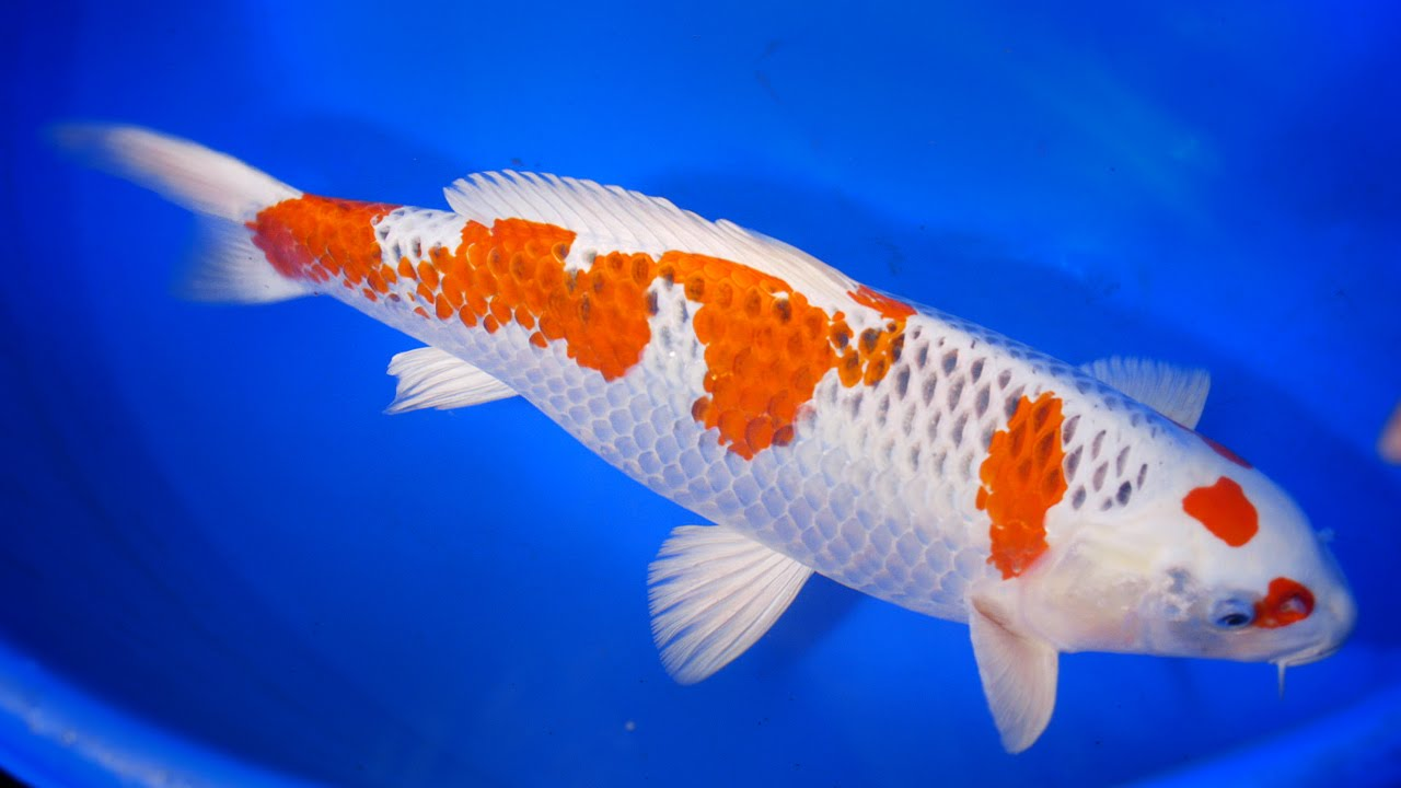 Kujaku the peacock koi carp 1 5 youtube for Keeping koi carp