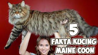 5 Fakta Kucing Maine Coon | Ras Kucing Rumahan Berbadan Besar