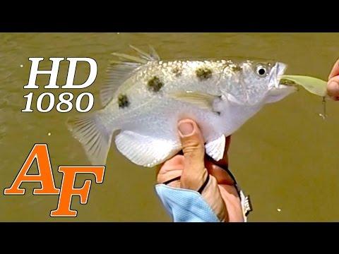 Lure Fishing Proserpine River Barra & Archer Fish Andysfishing Fishing Video Big Fish EP.188