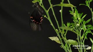 完整記錄烏鴉鳳蝶化蛹到羽化過程共拍攝10多天集合成2分鐘縮時攝影版權所...