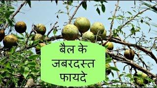 बेल पत्र के फायदे, बेल के फल के फायदे और बैल के पेड़ के फायदे हिंदी में. health benefits of bael tree