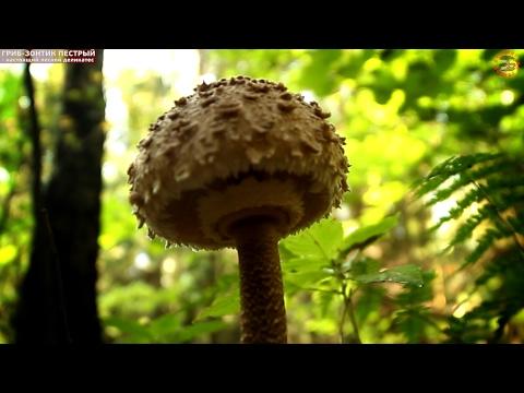 Гриб-зонтик пестрый - лесной деликатес, grib.tv