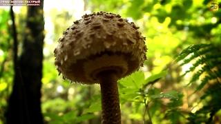 видео Лесные зонтики