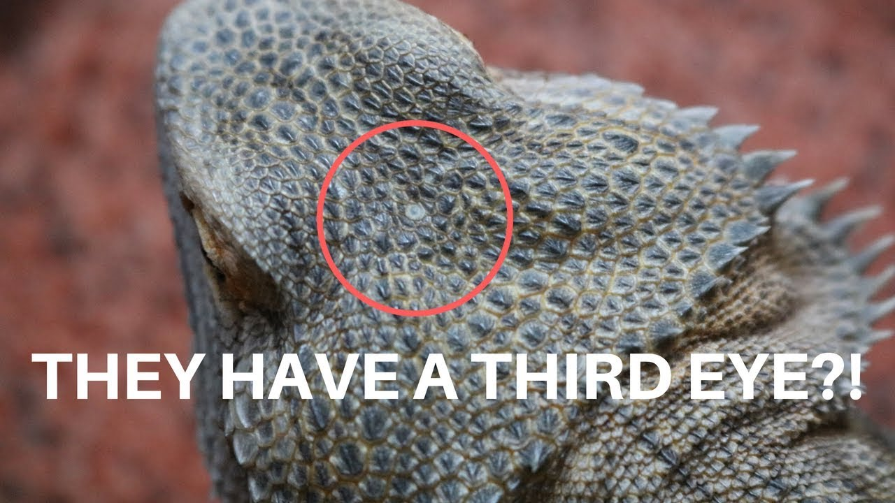 BEARDED DRAGON FUN FACTS!! (i bet you didn't know this)