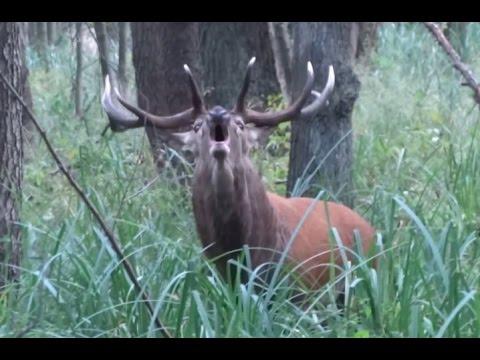 Rykowisko - zwabiony jeleń byk - hirschbrunft - red stag calling