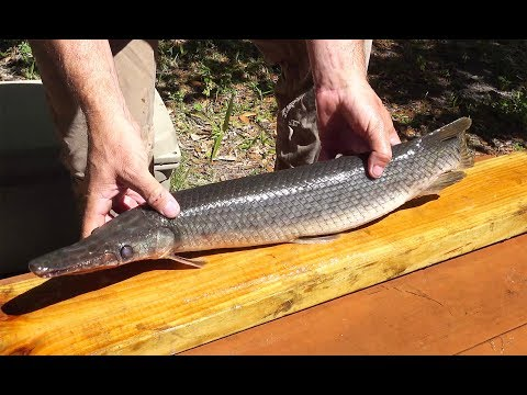 Garfish {catch Clean Cook} How To Fillet A Gar Fish