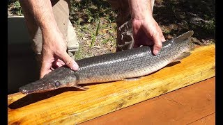 Garfish {catch clean cook} How to fillet a Gar Fish