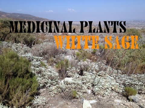 Medicinal Plants Sage, Wilderness Survival