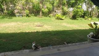 Варан vs Котята. Видео о том как зеленый зашел в гости, а котята решили ему пояснить