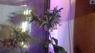 Цветущий Каланхоэ Дегремона. Flowering Kalanchoe Daigremontiana. ч.2(На соцветии прорастают новые листья., 2016-04-30T20:38:34.000Z)