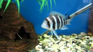 Фронтоза - Аквариумная рыбка!